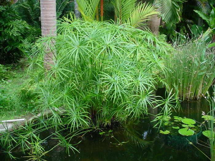 ciperus